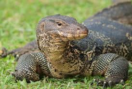 Image result for pictures of monitor lizards