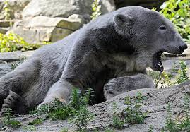 grolar bear size a few of the suggestions are the pizzly bear the grolar bear or the