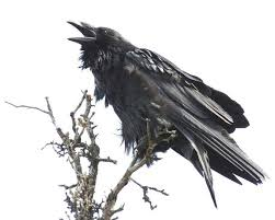they display a certain ability of problem solving as well as imitation and insight if one raven finds food it will call to the others in the flock