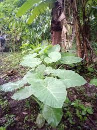 แกงกะทิไก่ใส่ออดิบ เมนูอาหารปักษ์ใต้ - Pantip