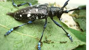 Where are asian longhorn beetles located