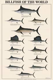 Freshwater Fish Identification Chart Billfish Of The World Identification Chart Freshwater Fish