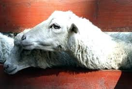 Goat Lice Goat Lice Treatment Why Are My Sheep Itchy And How Should I