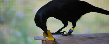 Crows Vending Machine Amazing New Discovery Of How Crows Use Tools Could Change Our Understanding