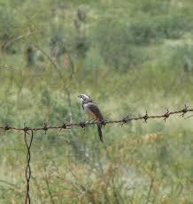Blackth. sparrow | Sondra Porter | Flickr