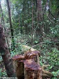 Logging And Timber Harvesting In The Rainforest