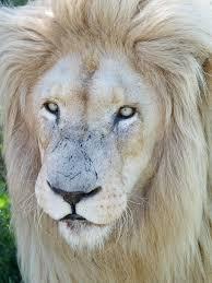 white lion, male lion, males, mane, big ...