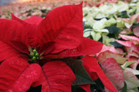 Weihnachtsstern Plantage Zahlt Nach Druck Höhere Löhne