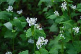 garden cover crop. Bees Enjoy The Buckwheat Cover Crop In Author\u0027s Kitchen Garden. Garden
