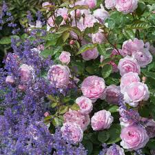 garden roses. David Austin Roses - Bare Root Roses, Container English Climbers, Ramblers Buy Online Garden