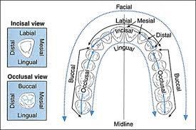 Surfaces Of The Teeth Chart Dentaltown Dental Tooth Surfaces Diagram Dental Teeth