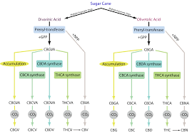 Imlff Chart How Biosynthesis Of Cannabinoids Could Impact The Cannabis