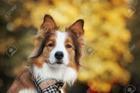 Red Border Collie Dog Wearing A Scarf ...