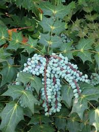Small Picture 22 best Evergreen Shrubs images on Pinterest Evergreen