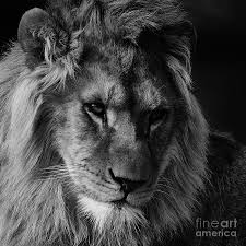 lion portrait black and white.  Black Closeup Photograph  Lion Portrait In Black And White By Nick Biemans Inside N