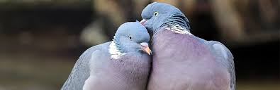 Mourning Dove Age Chart Doves And Pigeons An Ultimate Guide On Rearing Them As Pets