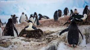 antarctic wildlife photo essay antarctic peninsula nesting blue eyed shags at joogla point together gentoo penguins