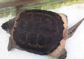 Rùa nuôi bỗng dưng mọc gai ở đuôi như khủng long