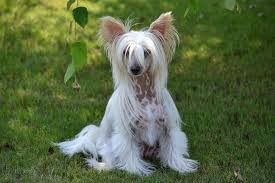 Hairy hairless chinese crested puppies