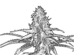 Pot Leaf Drawing Clipartsco intended for Pot Leaf Coloring Pages ...