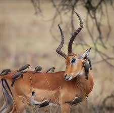 symbiotic relationships the jungle store the symbiotic relationship of the oxpecker its host