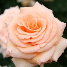 14 Rose Color Meanings What Do The Colors Of Roses Mean