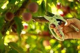 Train And Prune Fruit Trees  WikiEducatorPrune Fruit Tree