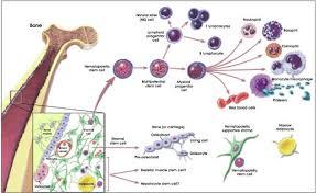 Hematopoietic Stem Cell Chart 5 Hematopoietic Stem Cells Stemcells Nih Gov