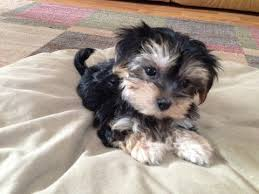 Image result for maltese yorkie mix