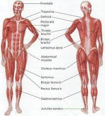 A Fully Labelled Human Body Muscle Diagram Human Body