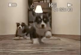 corgi puppy stampede gif. Exellent Corgi Animated GIF Puppy Cute Dog Share Or Download Stampede Corgi In Corgi Puppy Stampede Gif T