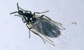 Small Black Flying Bugs In Bedroom House Plants Little Black Flies Arts