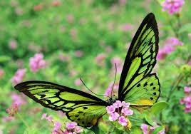 Resultado de imagen de Mariposa dorada y verde