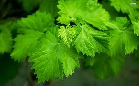 Green Leaves Wallpaper HD #6937192