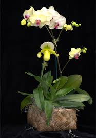 grower s choice double 2 orchid gift basket