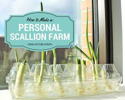Kitchen Scrap Gardening Video Regrow Scallions All Year Round With Your Own Personal