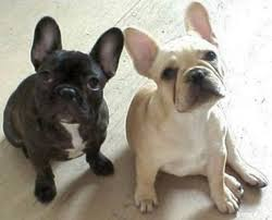 black and white french bulldog.  French With Black And White French Bulldog