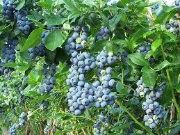 Blueberry Varieties Comparison Chart Jersey Blueberry Bush