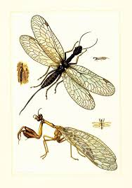 1960 Mantidflies Mantid Lacewings Mantis Flies Vintage