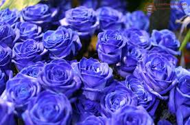 what is the rarest rose in the world