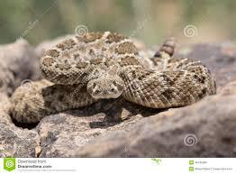 rattlesnake strike pose. Interesting Rattlesnake Western Diamondback Rattlesnake Ready To Strike Intended Rattlesnake Strike Pose S