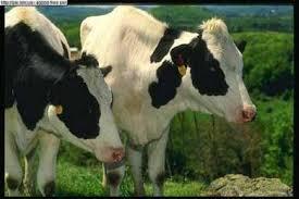 Корова домашняя корова коровы приручение рекордсменки крупный  Домашняя корова фото фотография полорогие парнокопытные