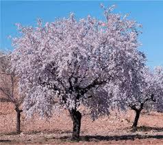 Vistosa fioritura alberi aggiungono bellezza e spesso fragranza per il paesaggio e per il giardino di casa. Il Mandorlo Coltivazione E Caratteristiche Dell Albero Odc