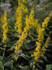 Images & Illustrations of zigzag goldenrod