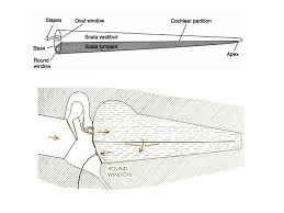 motion of the basilar membrane