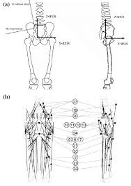 Panel A Shows The Bones On Which The Muscles Ligaments