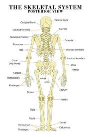 The Skeletal System Posterior View Anatomical Chart Scientific Poster Print