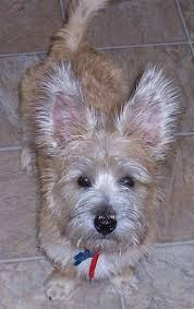 black cairn terrier mix. Modren Cairn With Black Cairn Terrier Mix