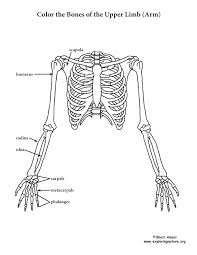 Small Picture Humerus Coloring PageColoringPrintable Coloring Pages Free Download