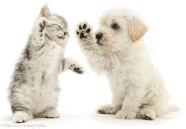 puppy and kitten. Fine Puppy Woodle Puppy And Kitten Boxing White Background For Puppy And Kitten P